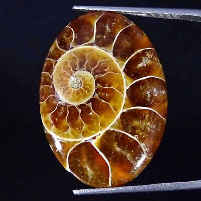 21.00Cts 100% Natural Designer Ammonite Fossil Oval Cabochon Loose Gemstone