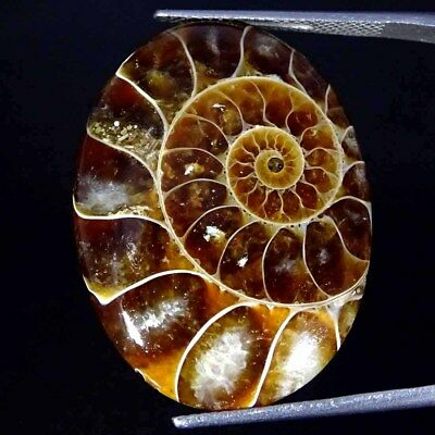 28.30Cts 100% Natural Designer Ammonite Fossil Oval Cabochon Loose Gemstone