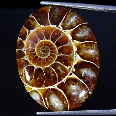 22.00Cts 100% Natural Designer Ammonite Fossil Oval Cabochon Loose Gemstone