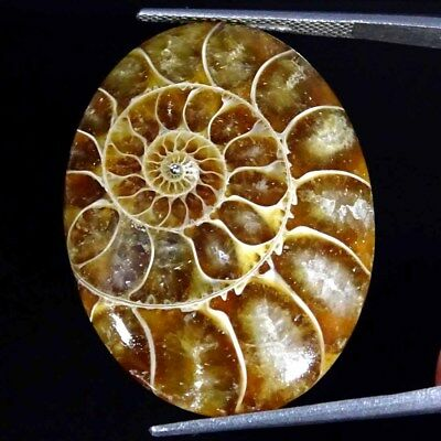 33.80Cts 100% Natural Designer Ammonite Fossil Oval Cabochon Loose Gemstone