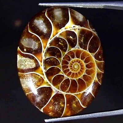 31.20Cts 100% Natural Designer Ammonite Fossil Oval Cabochon Loose Gemstone