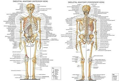 Anatomical Skeleton - Skeletal System Wall Art  Poster - A4 A3 A2 Sizes