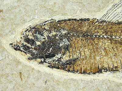 A NICE! 50 Million Year Old 100% Natural Knightia Fish Fossil Wyoming 334gr e