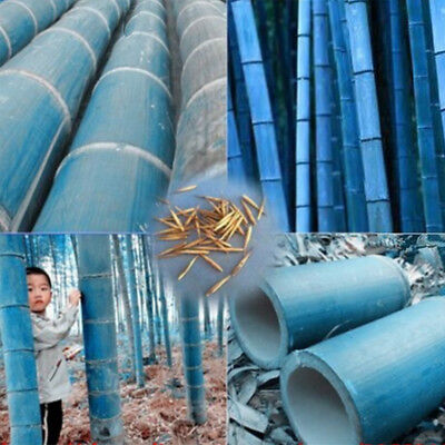50Pcs Rare Blue Bamboo Seeds Beautiful Home Garden Decor Tree Herb Plant Ornate