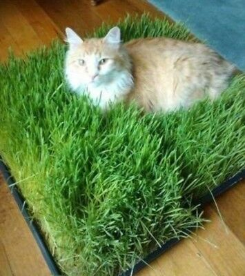 Cat Grass Seeds - Play - Grow Your Own - Happy Kitty - Aids Digestion - Health