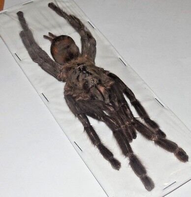"6 1/2 To 7"" Huge Real Spider Haplopelma Minax Tarantula Taxidermy Thailand"