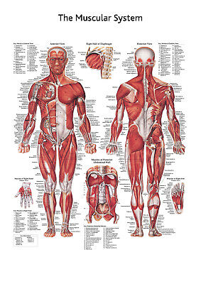 Muscular, Skeletal and Nervous System Anatomical charts in one bundle