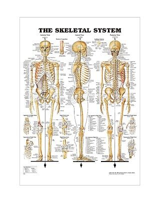 The Human Skeletal System Anatomical chart