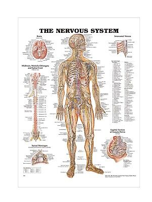 The Human Nervous System Anatomical chart