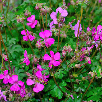 GERANIUM CANTABRIGIENSE deep pink ground cover geranium