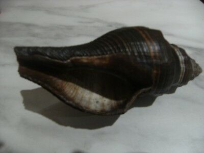 LARGE SHELL DIRECT FROM RIVER GAMBIA AFRICA -7 inches by 3 inches  NATURAL