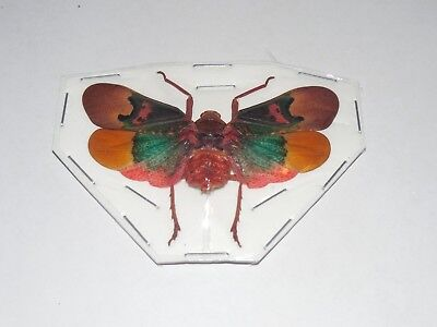 Scamandra Thetis Red Green Planthopper Real Insect Indonesia Taxidermy