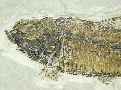 Nice SCALES!! A 50 Million Year Old Knightia Fish Fossil From Wyoming! 261gr