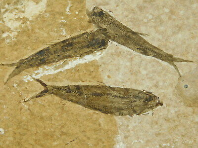 School of FTHREE Small Restored 50 Million Year Old Fish Fossils Wyoming 147gr