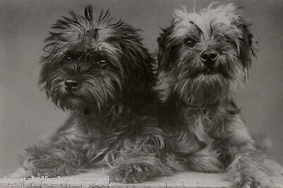1935 B&W Photo~Two Dandie Dinmont Terrier Puppy Dog Dogs NEW Large Note Cards