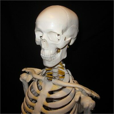NEW High Quality Human Anatomical Skeleton Model 85cm Tall w/Nerves + STAND