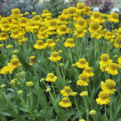 Helenium Madame Calivet