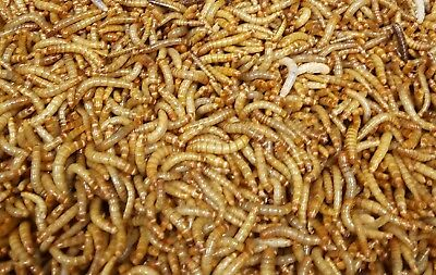 Live Mealworms -100, 250, 500ct, 1000ct, All Sizes