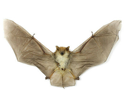 Clear Winged Wooly Spread Bat Kerivoula Pellucida  Real Taxidermy