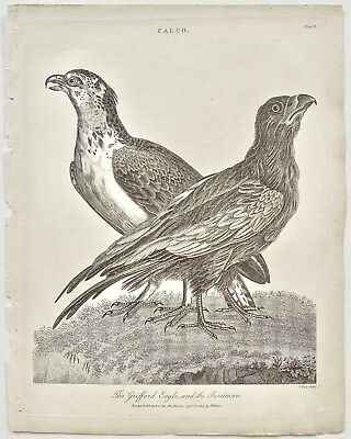 Set of 6 Original Antique Falcon Prints, Falconry, Rare Book, Encyclopedia 1800s