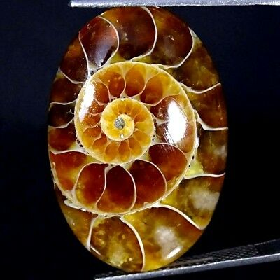 21.30Cts 100% Natural Designer Ammonite Fossil Oval Cabochon Loose Gemstone