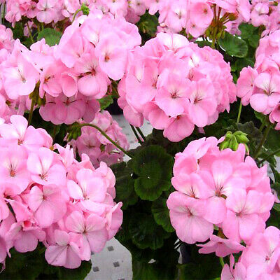 F1 GERANIUM - APPLEBLOSSOM  - 10 SEEDS - Pelargonium zonale - FLOWER SEEDS