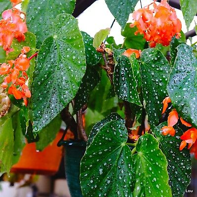 Angel Wing Cane Begonia # PEACH PARFAIT # Indoor~Pots~Spotty Leaves~1 Plant