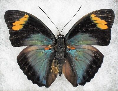 Insect/Butterfly/ Euphudra ssp. - Male