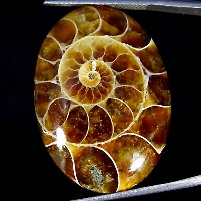 33.10Cts 100% Natural Designer Ammonite Fossil Oval Cabochon Loose Gemstone