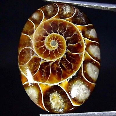26.70Cts 100% Natural Designer Ammonite Fossil Oval Cabochon Loose Gemstone