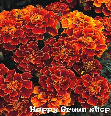 FRENCH MARIGOLD - Double Spanish Brocade - 450 SEEDS -Tagetes patula nana FLOWER