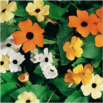 100 Seeds, Black Eyed Susan Vine Mixed Colors Thunbergia alata Seeds By Seed