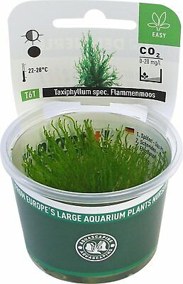 Dennerle Plant It Invitro Live Aquarium Plant - Taxiphyllum Flame Moss