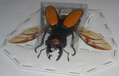 Spread Odontolabis Lacordairei Real Insect Beetle Indonesia Taxidermy