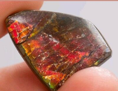 Beautiful Rare Nature Red Iridescent Ammolite Crystal ,Alberta ,Canada