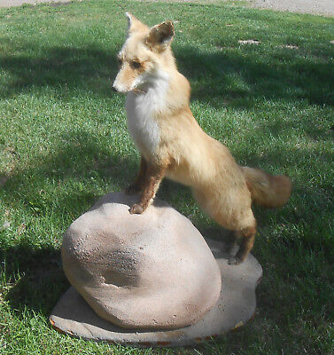Vintage Real Red Fox Full Body Taxidermy Mount Standing Up On Rock Beautiful