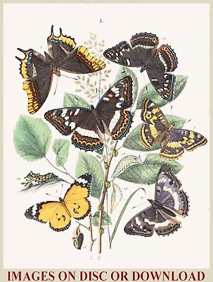 Make/Sell 'ANTIQUE' INSECT ART PRINTS - Hi-Res Restored Images - HOME BUSINESS