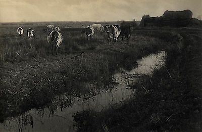 Peter Henry EMERSON:  Cattle on the Marshes, 1886 / VINTAGE Platinum Print