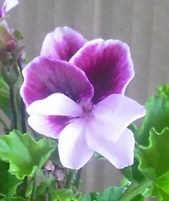 Highton Orissa Angel Pelargonium x 1 plant ---------------------------- Geranium