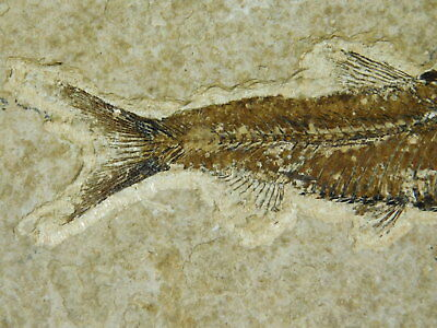 Super FINE Bones! A Small 50 Million Year Old Fossil Fish Found in Wyoming 262gr