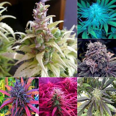 Medical Marijuana Seeds Cannabis Hemp Seeds Bonsai Potted Home Garden Plant Seed