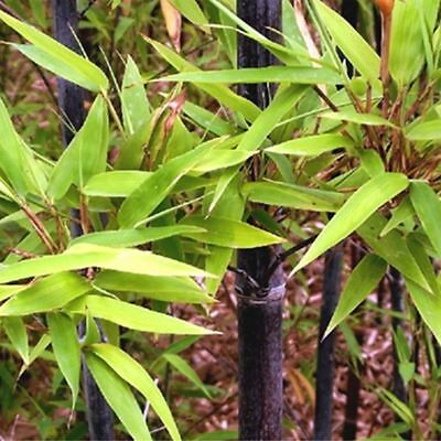 50Pcs Tinwa Green Phyllostachys Pubescens Moso-Bamboo Seeds Plants Bamboo