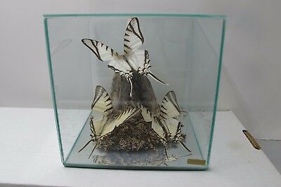 3 Real MADAGASCAR Butterflies Mounted  In Acrylic Case