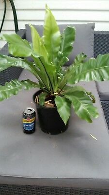 BIRDS NEST FERN 150mm pot