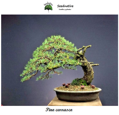 Pino carrasco - Pinus halepensis - 50 semillas - Seeds