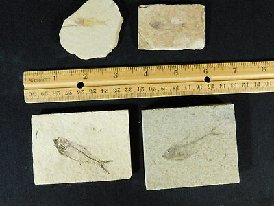 Lot of FOUR! Small Natural 50 Million Year Old Fossil Fish From Wyoming 265gr e