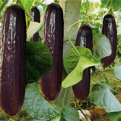 Purple Black Cucumber Japanese Long Cucumber Vegetable Seeds for Home Garden