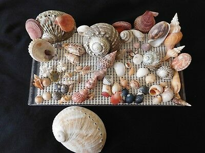 Sea shells Collectable. South Australian Gastropods
