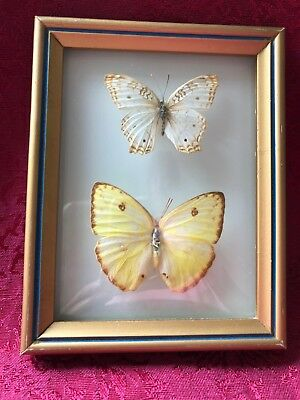 Vintage Framed Taxidermy Real Two Butterfly Brazil Domed Arched Glass Frame