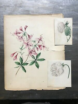 STUNNING ORIGINAL c.1860's HAND DRAWN HIBISCUS PENCIL ILLUSTRATION + x2 OTHERS